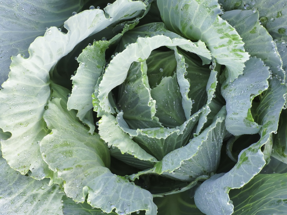 Head of cabbage (botanical name Brassica oleracea, or variant), with dewdrops, growing in summer garden